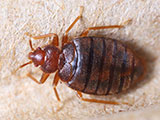 A close up of a bed bug sitting on fiber.