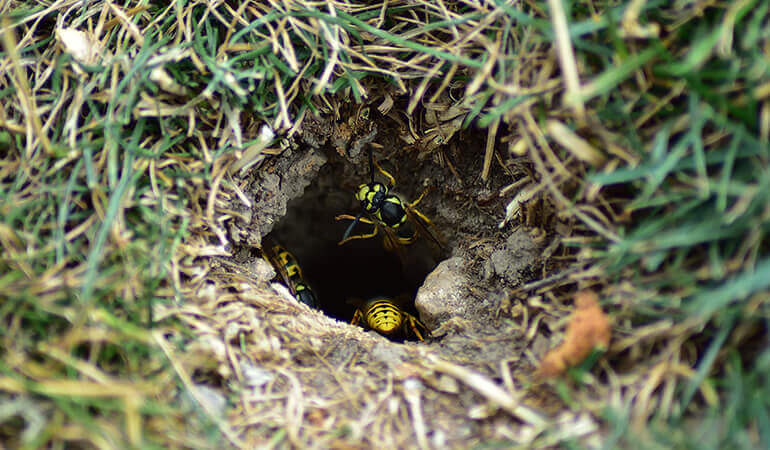 Yellow jacket wasps leaving a nest located in a hole in the ground.