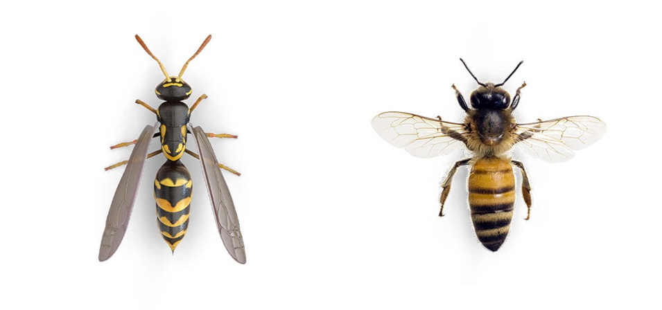 Comparative images of a Wasp and a Bee.