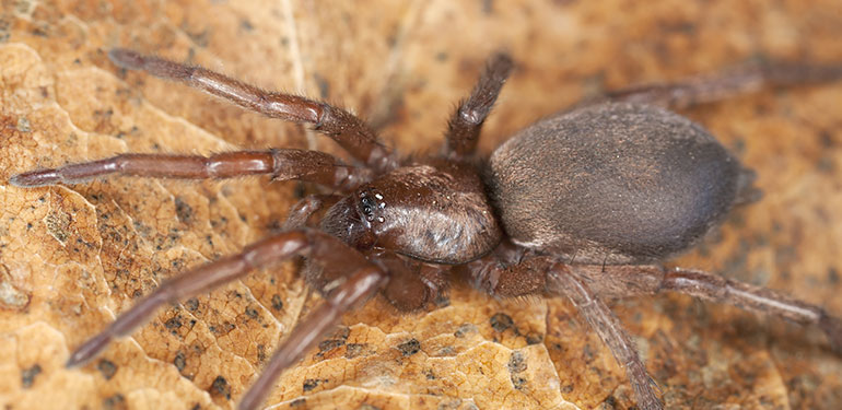 A side-by-side image of a femail black widow spider, brown widow spider and brown recluse spider.