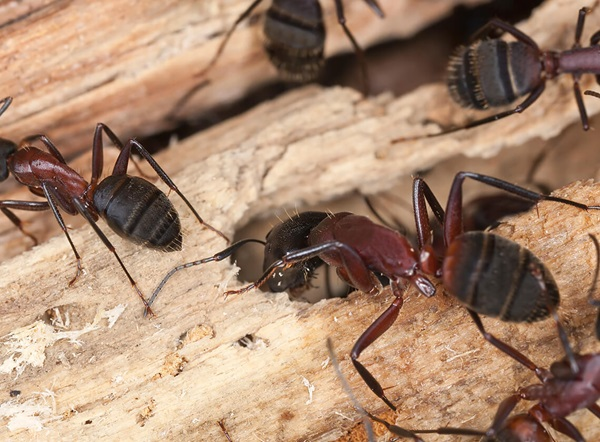 Three carpenter ants crawling on a piece of wood.