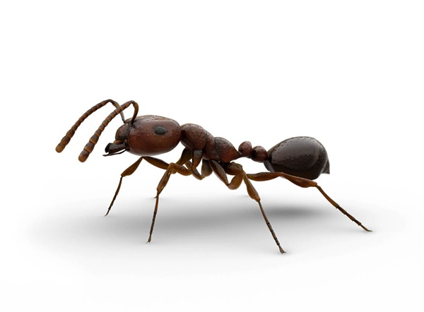 Side-view illustration of a fire ant.