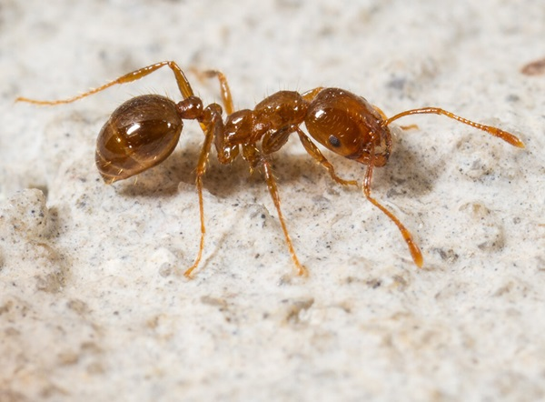 Close up view of a fire ant crawling on the ground.