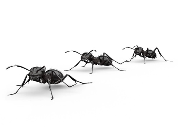 Side-view illustration of several nuisance ants.