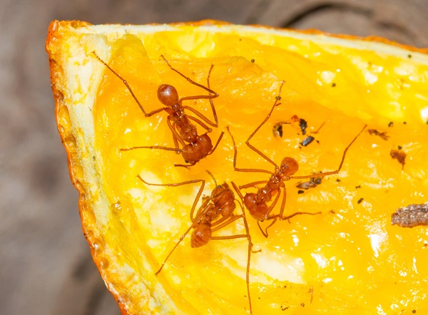 Ants crawling over a slice of orange.