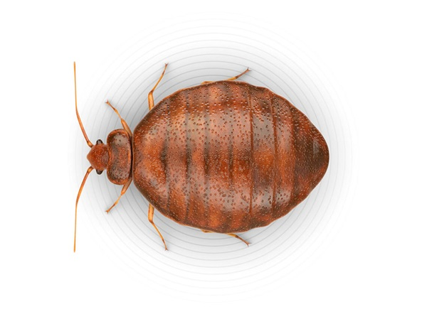 Top-view illustration of a bed bug.