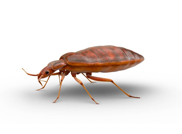 Side-view illustration of a bed bug.