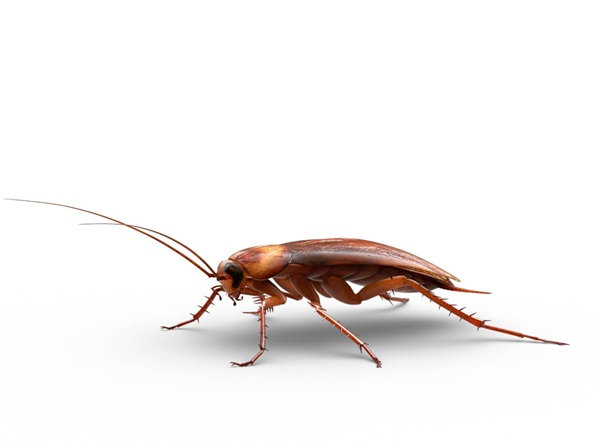 Side-view illustration of a large roach.